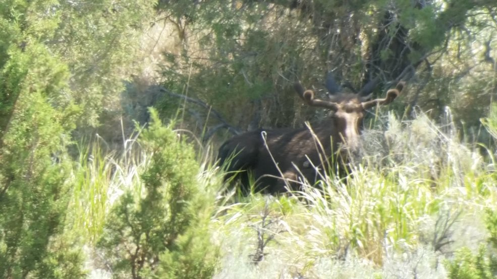 Young bull moose spotted southeast of Elko | KSNV